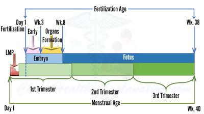 Stages of Fetal Development: From Fertilization to Birth
