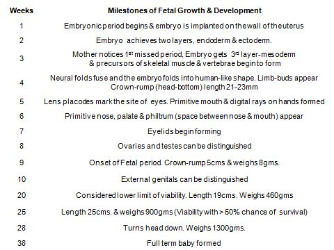 The first eight weeks are divided into pre-embryonal and embryonal stages.