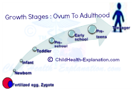 Growth Stages From an Ovum to Adulthood