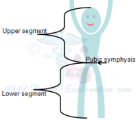 Body Ratios: Upper and Lower Segments