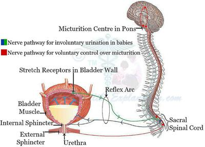 Urination in Infancy Is a Reflex Phenomenon<br>Note Micturition Reflex-Arc and Its Higher Control System